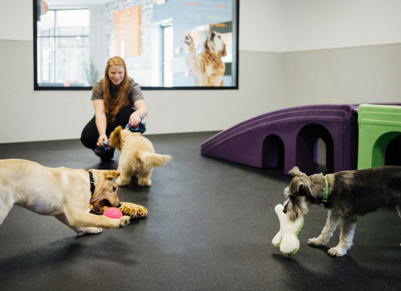 Dogs playing with toys at Dogtopia of Gilbert daycare playroom.