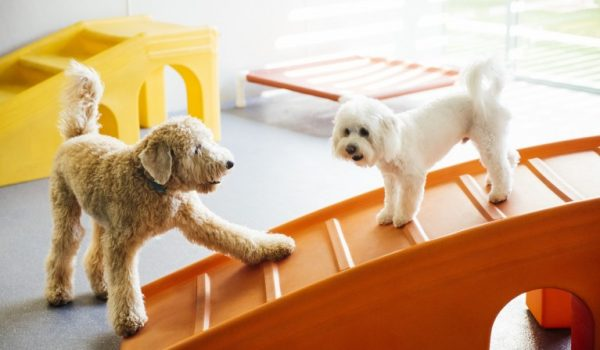 Two dogs playing with each other at Dogtopia of Harbor Steps playroom.
