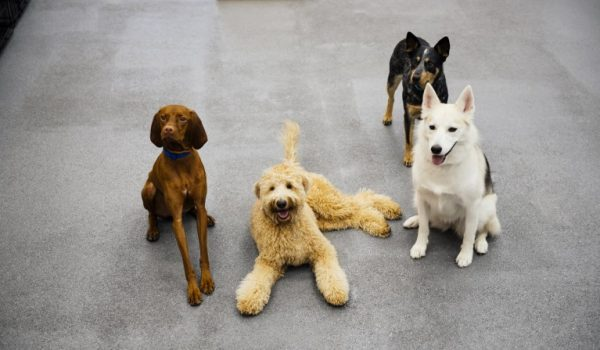 Four dogs posing to the camera at Dogtopia of 8th Ave - Nashville.