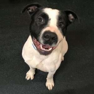 Foster dog Titan pit bull