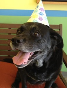 Casey, Labrador Retriever on her 11th birthday