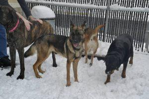 Otis, German Shepherd, enjoying the snow