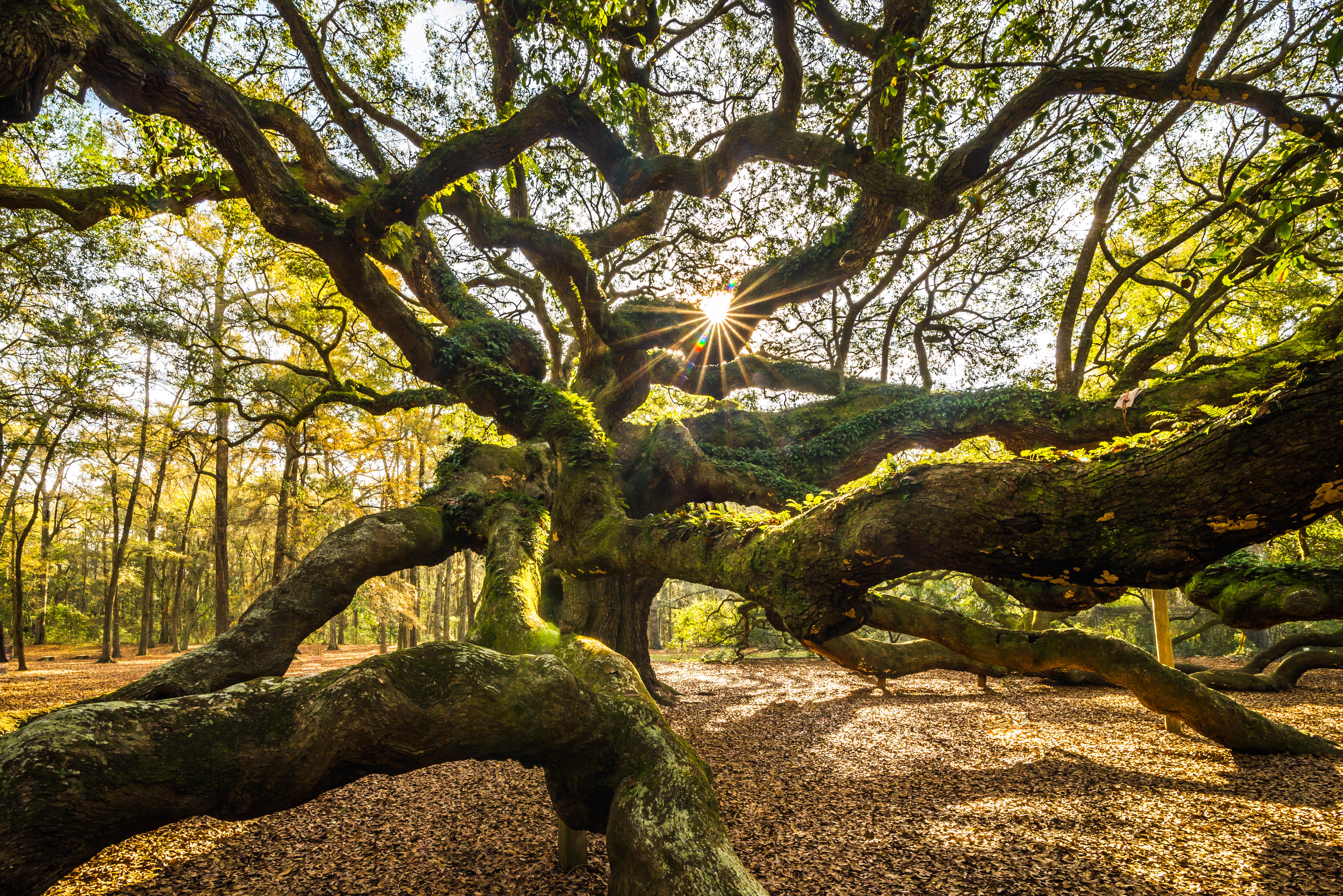 Angel Oak tree near Charleston