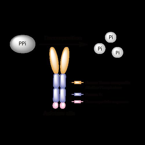 Asfotase Alfa - DrugBank