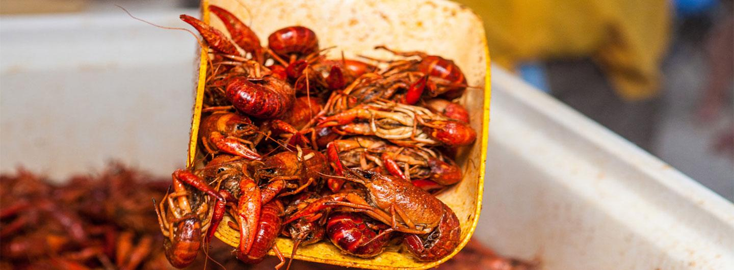 Boiled crawfish being scooped out of large tub