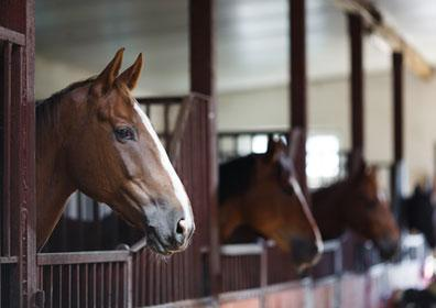 horses lined up in their barn stalls