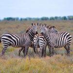 ZebraDazzle