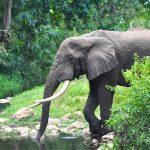 ElephantDrinking