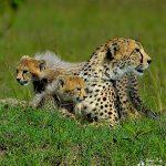 CheetahandCubs_AfricaWildlife