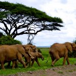 elephantherd_AfricaWildlife_Safari1