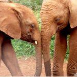 ElephantsinLove_AfricanSafari