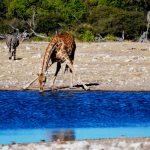 GiraffeandZebras_DrinkingWater_AfricaSafari