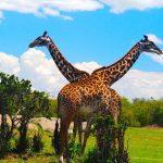 Giraffes_AfricaWildlife_Safari