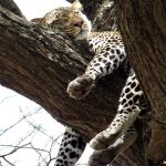 Leopard_SleepingOnTree_AfricaSafari