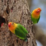 Two_Birds_Africa