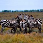 ZebraBeautiful_AfricaSafari