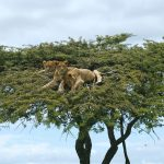 African Safaris - Lions in Tree
