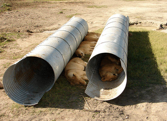 Too much sun. Log lions