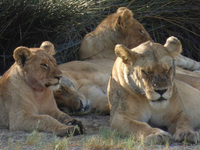 Lions early in the morning, Serengeti, African Safari