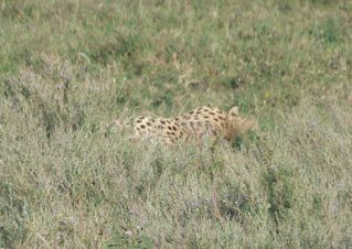 cheetah in the tall grass