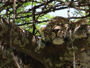 leopard napping in a tree