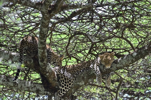 leopards on African Safari