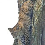 leopard_climbing_down_tree