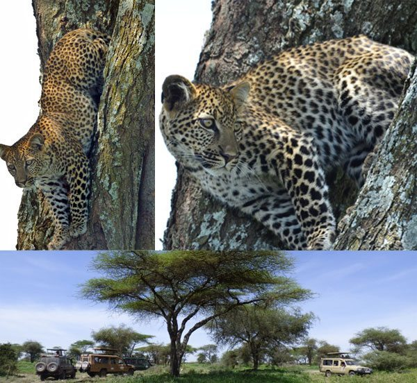 leopards on African Safari