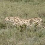 cheetah, jaws of life