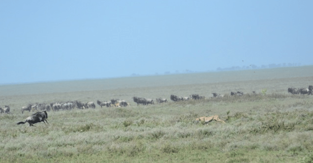 cheetah, wildebeest