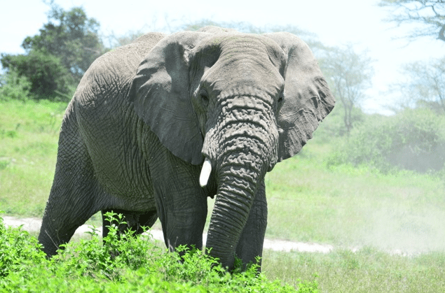 Elephant, African Safari