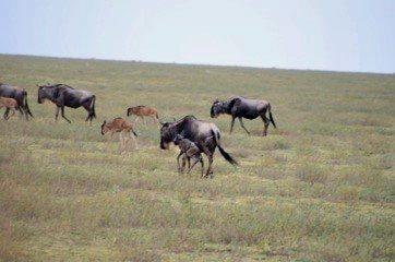 Birthing Miracles, Wildebeest