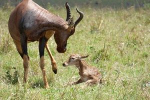 birthing miracles on the african safari, the topi