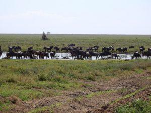 wildebeestherd