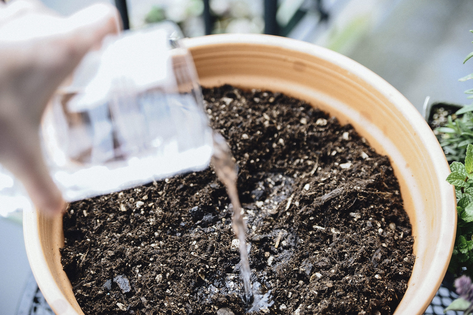 watering herb garden