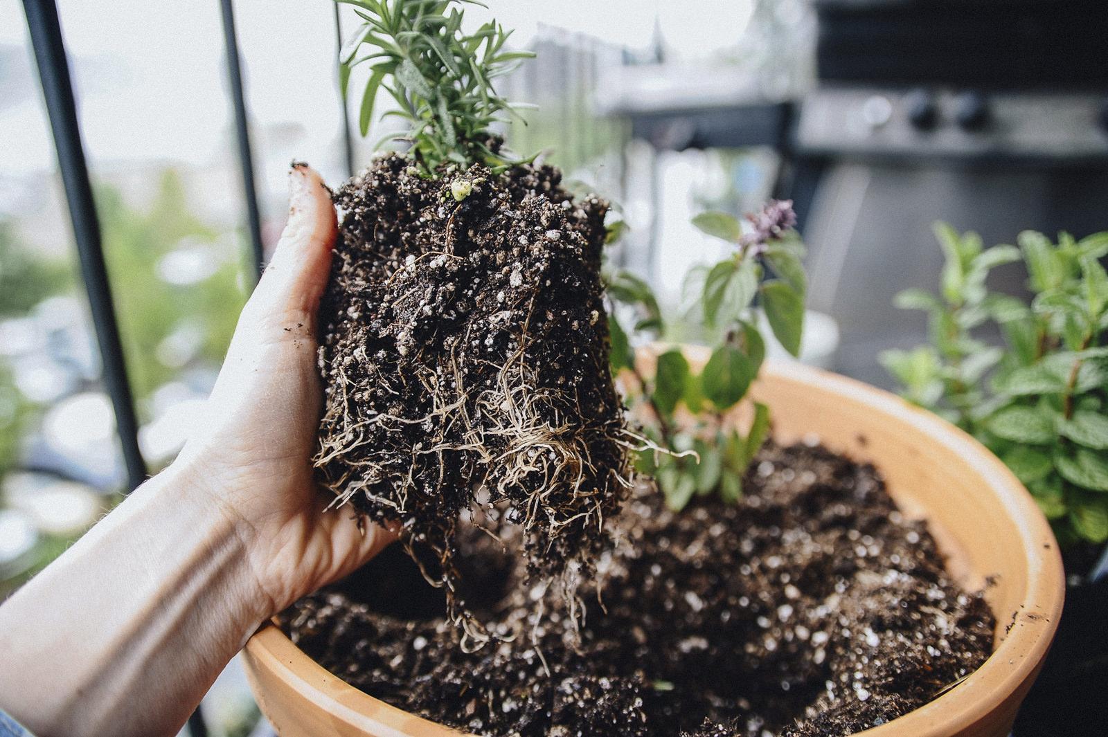 herb garden roots