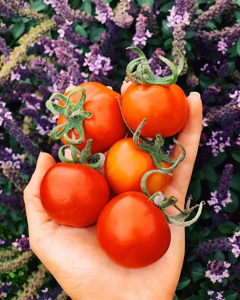 Large varieties of tomatoes have a lengthy time to mature. Start seeds early for vegetables with longer maturity times or opt for nursery starts if you've missed the window.