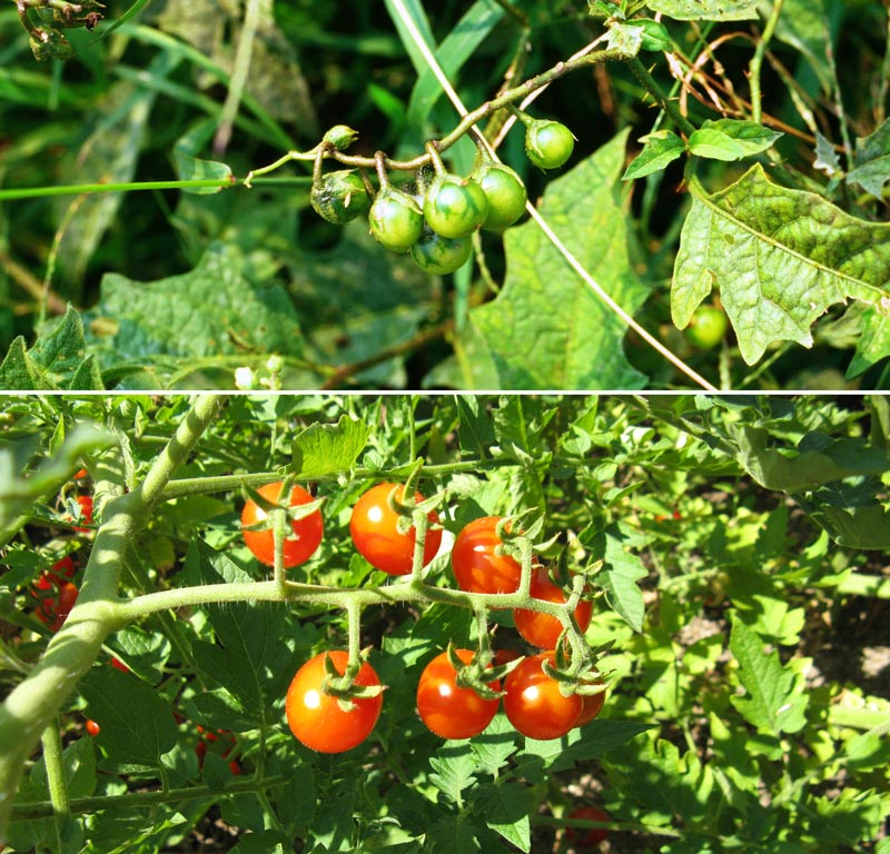 Know your plants: poisonous horse nettles above and wild tomatoes below.