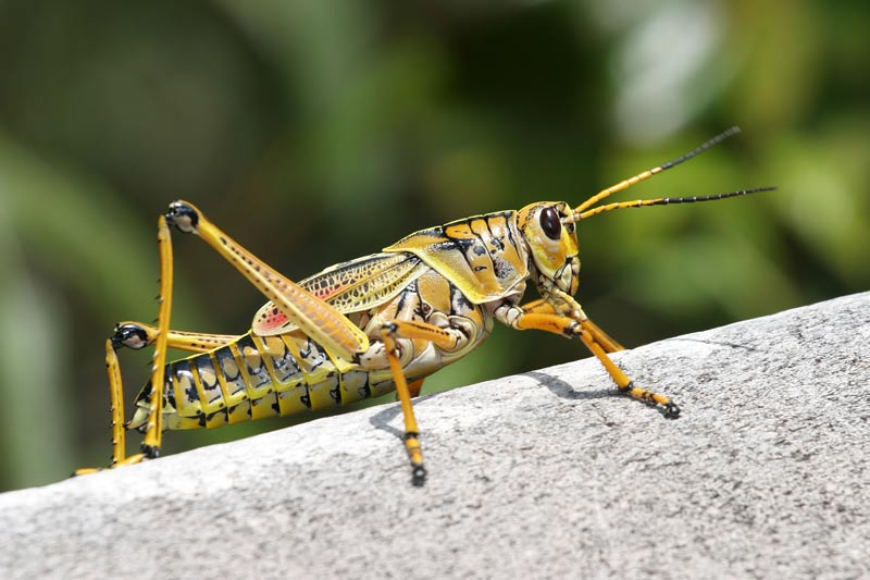 The incredible edible grasshopper