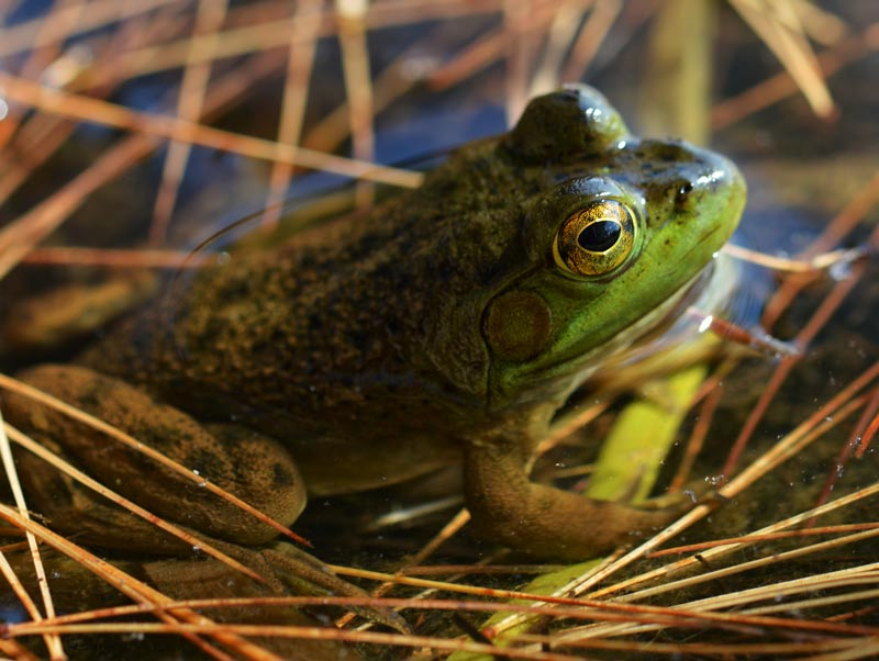 The American Bull Frog