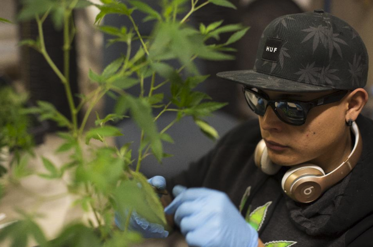At a Smokey Point Productions facility in Arlington, Washington, a worker trims marijuana plants. This is an example of one of the many types jobs the marijuana industry has created.