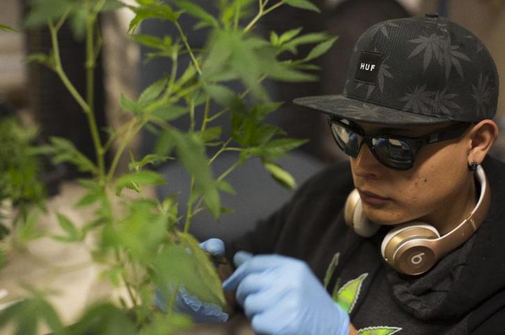 At a Smokey Point Productions facility in Arlington, Washington, a worker trims marijuana plants. This is an example of one of the many types jobs the marijuana industry has created.