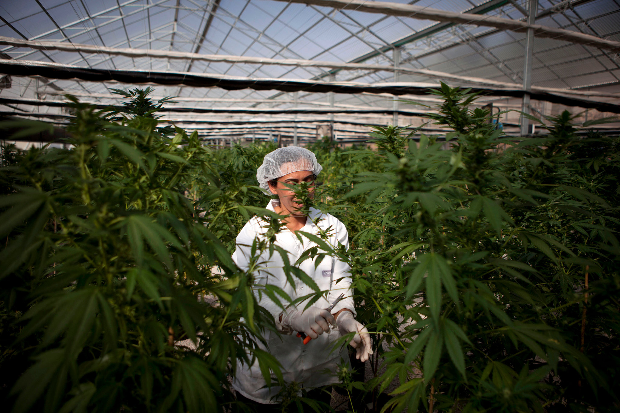 A worker in one of Israel's medical marijuana farms.