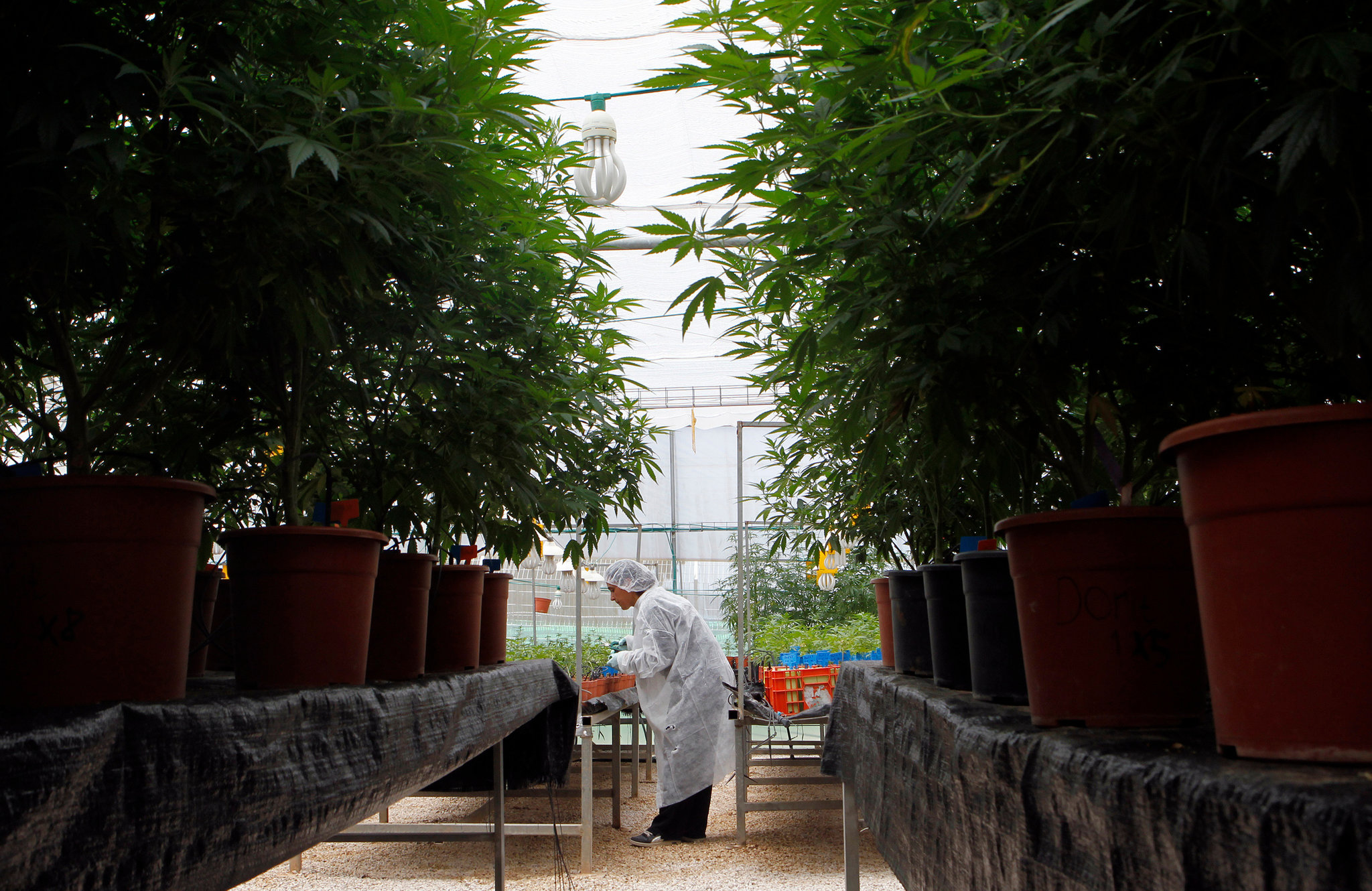 At a medical marijuana farm in Israel, a worker tends to the plants.