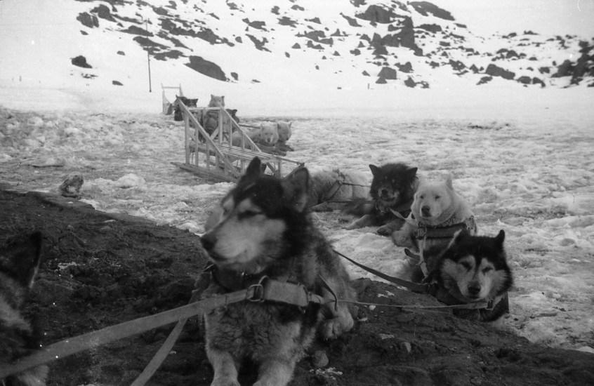 Enterreno - Fotos históricas de chile - fotos antiguas de Chile - Perros de Trineo en Portillo, 1963
