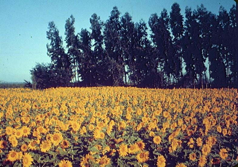 Enterreno - Fotos históricas de chile - fotos antiguas de Chile - Campo de Maravillas en la Zona Central, 1960