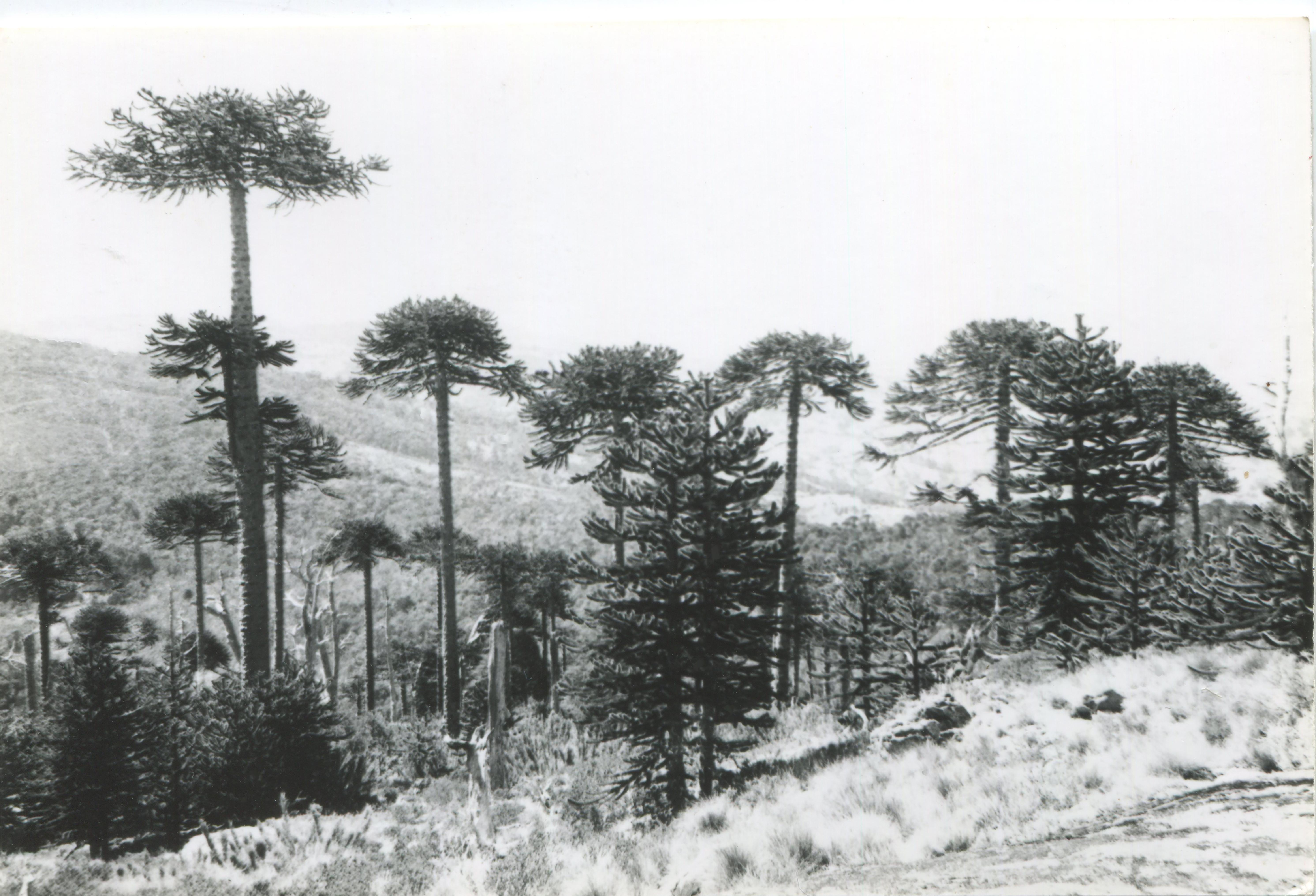 Enterreno - Fotos históricas de chile - fotos antiguas de Chile - Parque Nacional Nahuelbuta en los 50s
