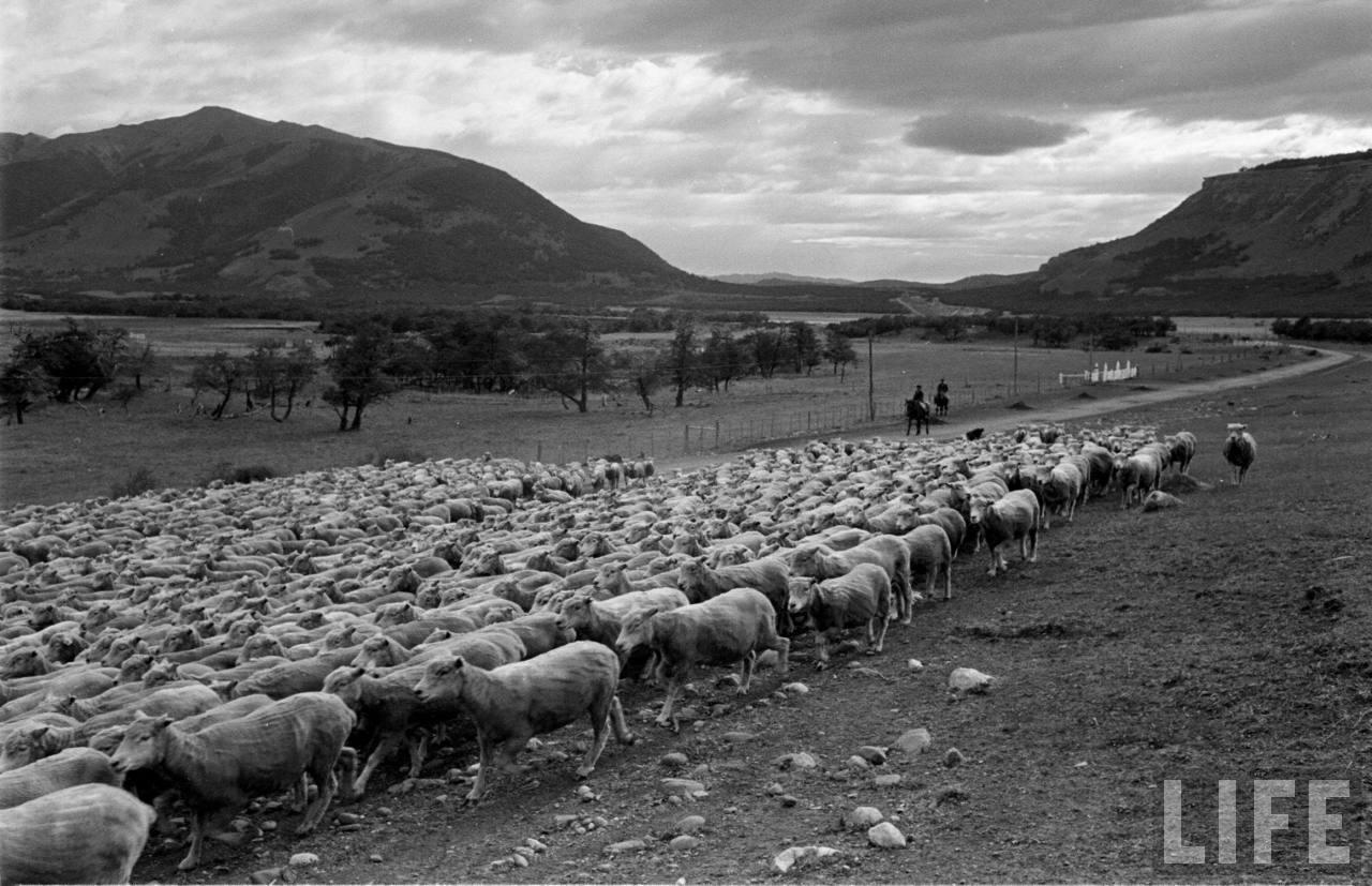 Enterreno - Fotos históricas de chile - fotos antiguas de Chile - Ovejas en la Patagonia, 1950