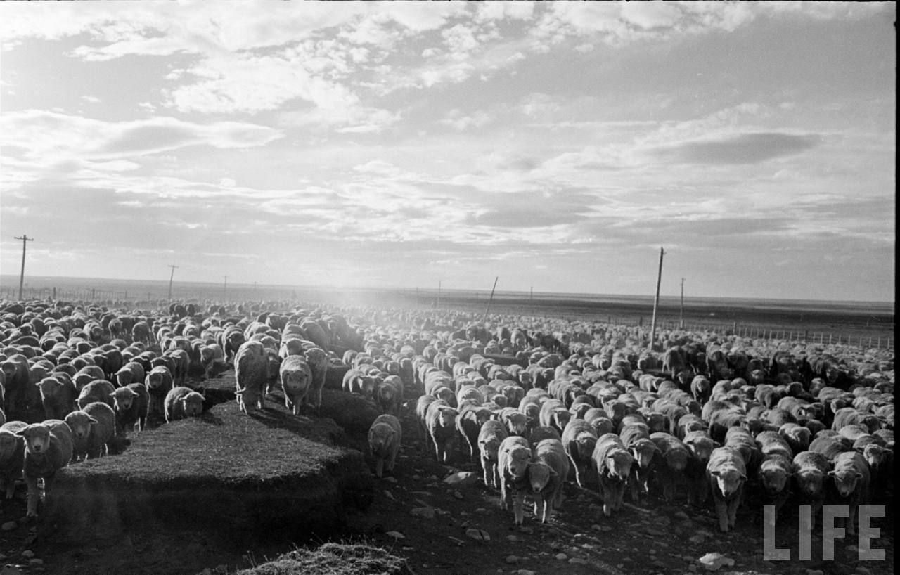 Enterreno - Fotos históricas de chile - fotos antiguas de Chile - Ovejas en la Patagonia, 1950