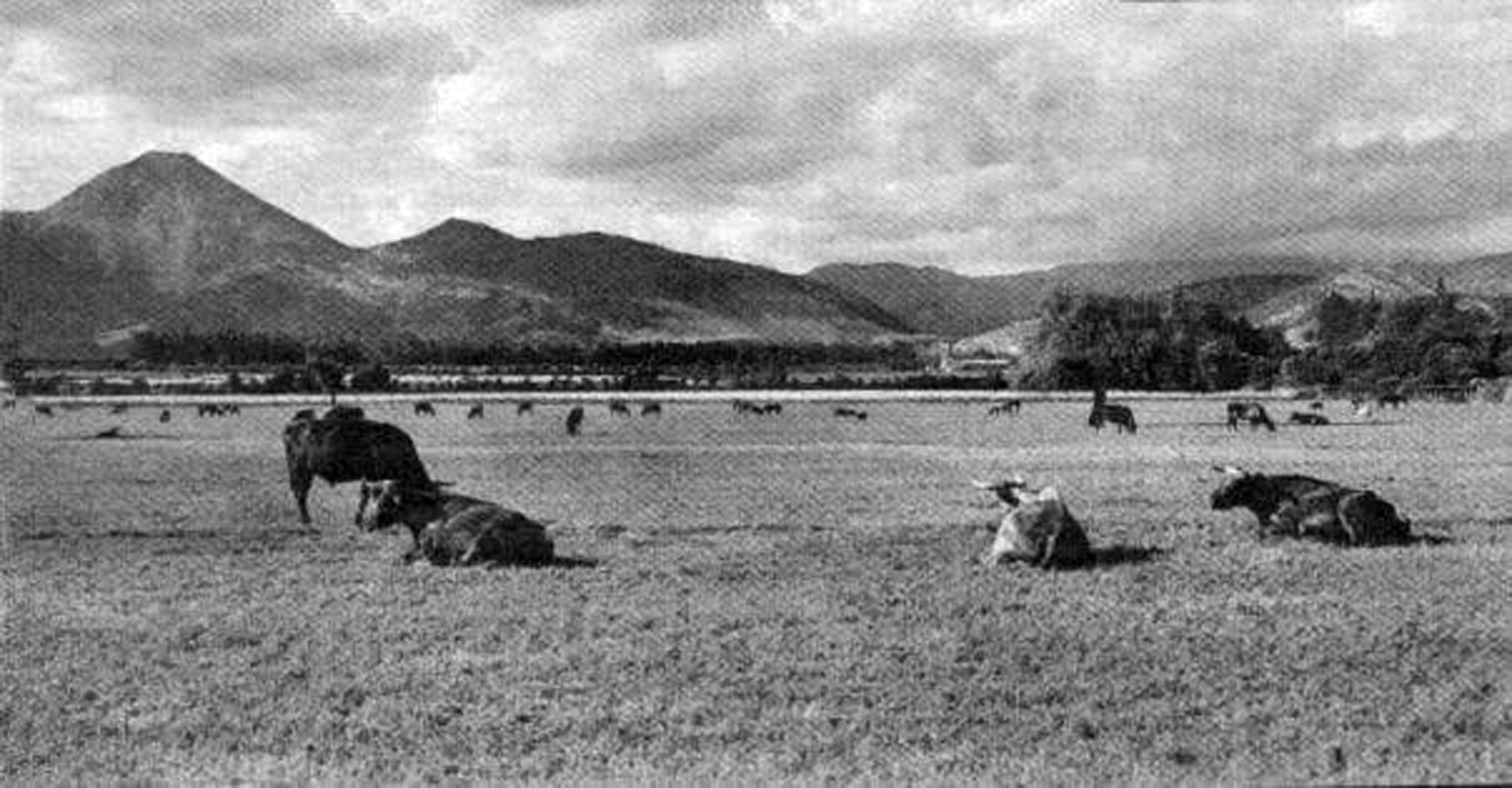 Enterreno - Fotos históricas de chile - fotos antiguas de Chile - Vacas en el sector oriente de Santiago en 1930